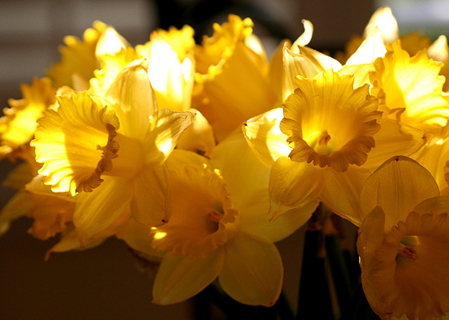 daffiodils-by-john-morgan-via-flickr
