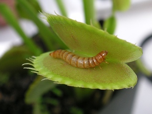 Meal Worm in Venus Fly Trap via blmurch