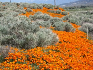 Desert River of Flowers by wanderbored via Flickr